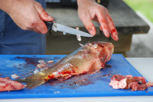 Filleting Carp